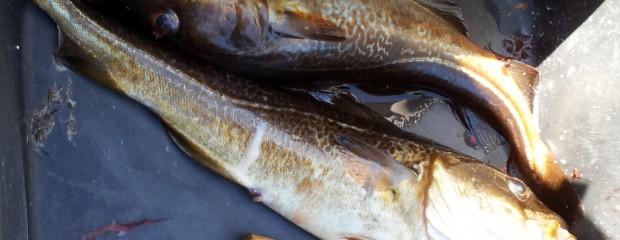 Norwegen Fische: Dorsch, Köhler, Pollack, Lumb, Leng, Rotbarsch und Schellfisch (Teil 1)