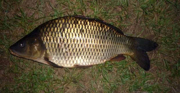 Schuppenkarpfen (44 cm) auf Dosenmais gefangen (Heeßeler Teich)