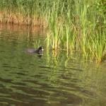 Wasservogel am Angelhaken - Was machen bei Ente, Haubentaucher und co.?